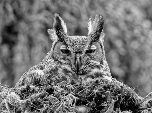 great-horned-owl-florida
