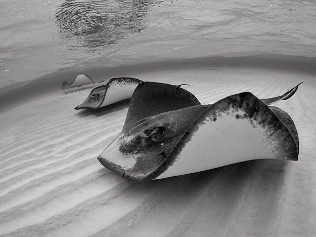 stingrays-grand-cayman